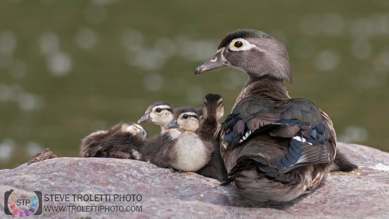 Female Wood Duck and Chicks / Canard branchu et ces poussins