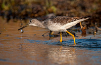Lesser Yellowlegs with Fish / Grand Chevalier avec poisson