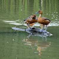 Fulvous Whistling Ducks / Dendrocygne fauve