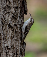Brown creeper - Grimpereau brun