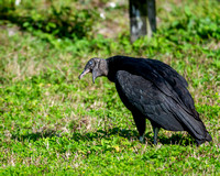 Black vulture gagging