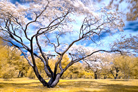 Japanese Cherry Tree - IR - Prunus serrulata