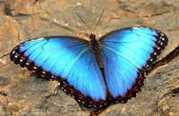 Blue Morpho / Morpho Bleu - Morpho helenor Wings Open