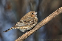 Female House Finch / Roselin familier (Carpodacus mexicanus)