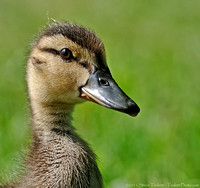 Duckling / Caneton